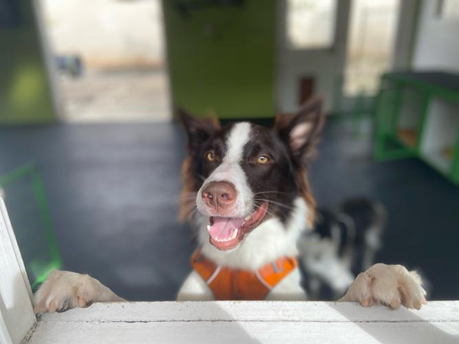 A dog at Smilin dogs boarding club