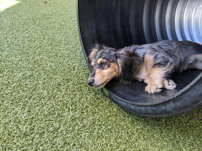 A dog at doggie daycare