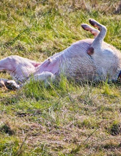 A dog rolling in the grass