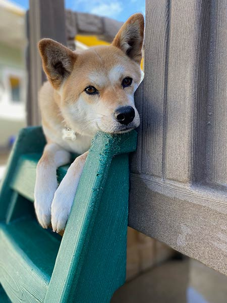 A dog on a playset